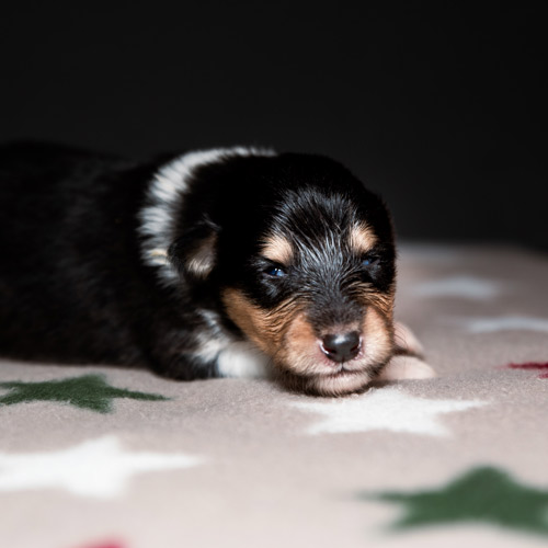 Collie tricolor pup Saga x Davey