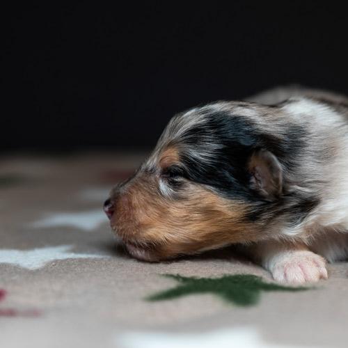 Collie blue-merle pup Saga x Davey