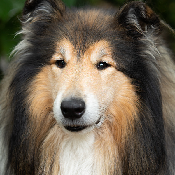 Collie sable reu Chonchar